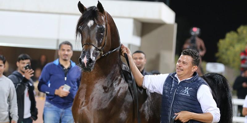Arap Atlarının En Güzelleri Kuveyt'te Seçildi...