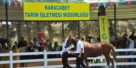 Karacabey Tarım İşletmesi Müdürlüğü tayları  3.690.000 TL'ye alıcı buldu