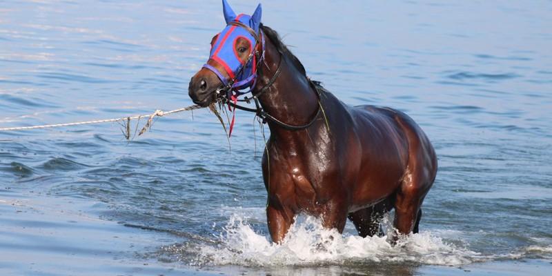 Milyonluk yarış atları, Yalova'da yüzdürülüyor