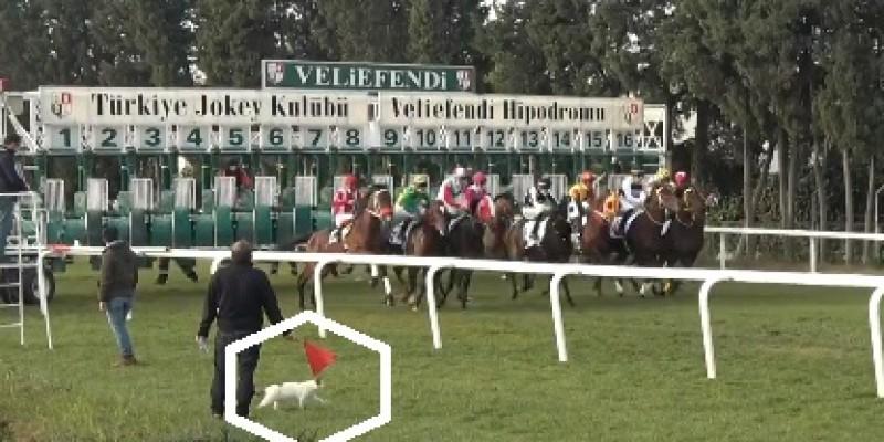 Sakarya Koşusunda beyaz kediye kırmızı bayrak