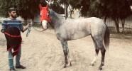 Satılık 4'lü Güçlü kan hattına sahip Arap Atı