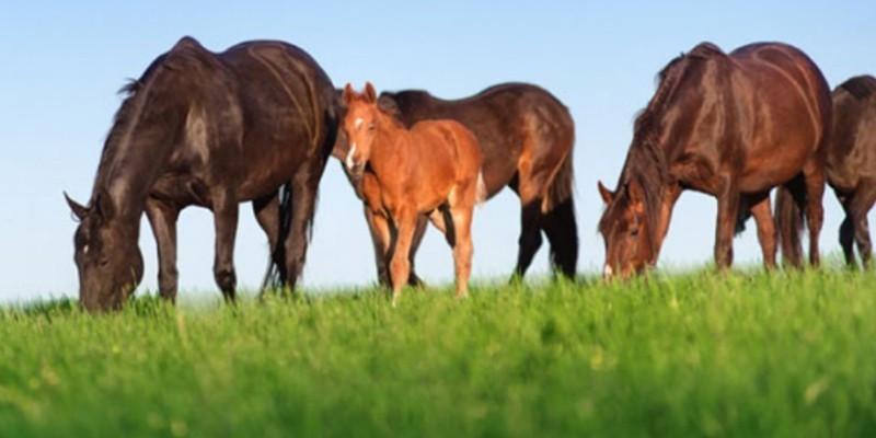SATILIK Gebe Kısraklar ve Koşar Durumda Yarış Atı